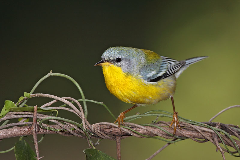 Image result for Tropical Parula